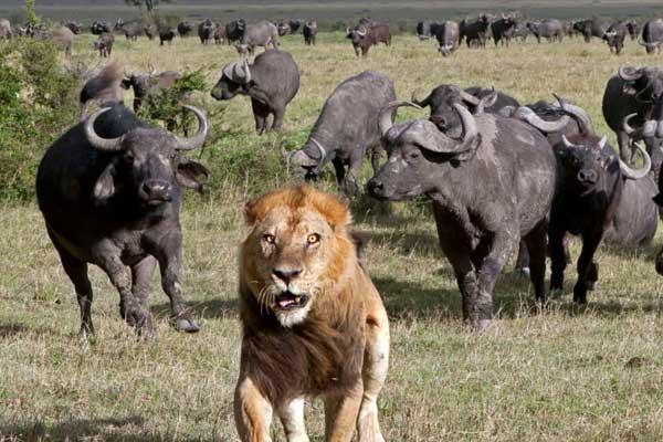 Африканские буйволы нападают на льва