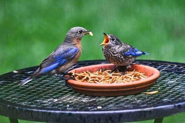 Кормление птиц мучными червями