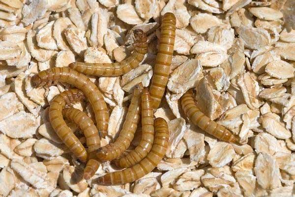Чем кормить - субстрат для мучных червей