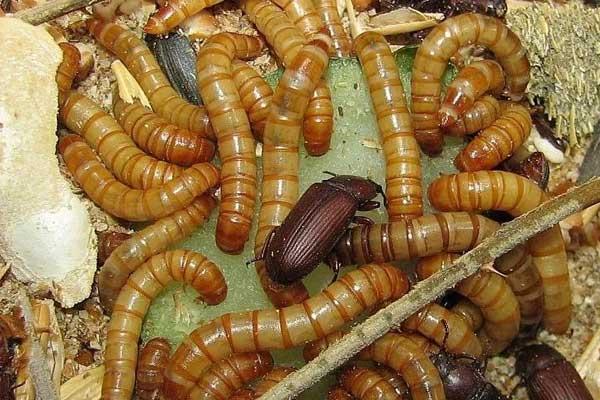 Колония жуков чернотелок - разведение мучных червей в домашних условиях