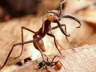 Бродячие муравьи - самые опасные и коварные представители жевотных