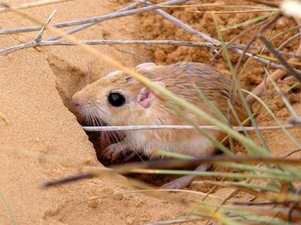 Содержание песчанки дома