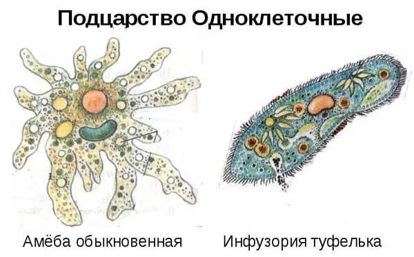 Одноклеточные животные - амебы и инфузория