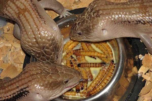 Ящерицы едят мучных червей