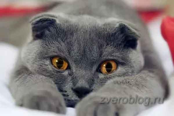 Порода Британских кошек - описание о особенности характера