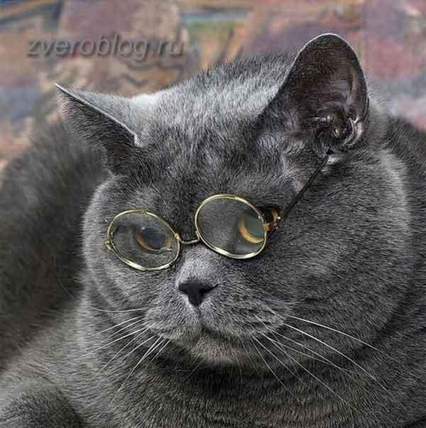 Британсккие кошки умны и легко обучаемы