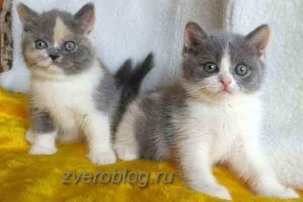 Различные окрасы котыт Британской породы