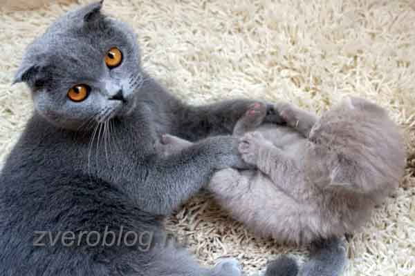 Британская кошка воспитывает котенка