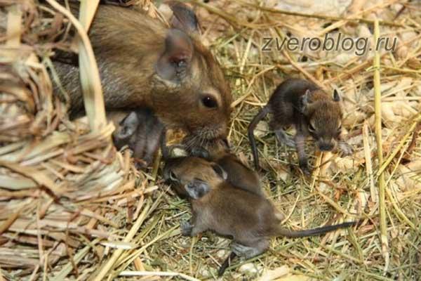 Семья чилийских белок дегу - мама с малышами