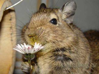 Милая и забавная чилийская белочка дегу с цветком ромашки