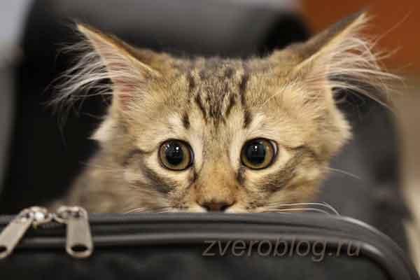 Котенок лезет в сумочку