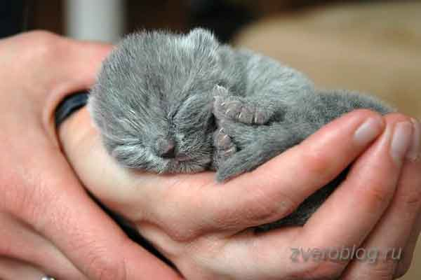 Маленький серый котенок спит в ладошках