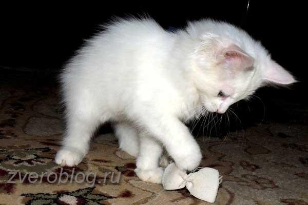 Белый домашний игривый котенок
