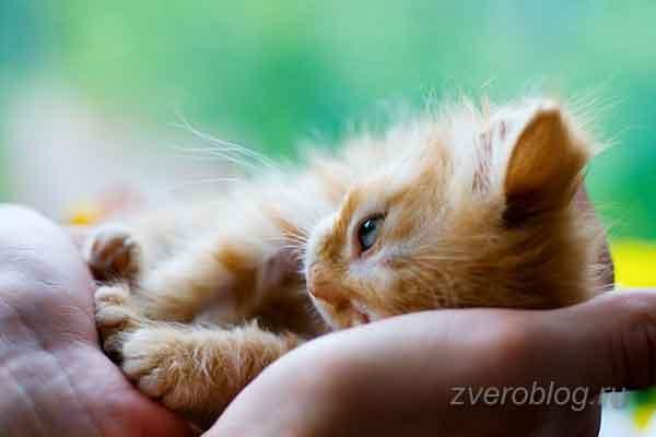 Трогательный рыжий котенок в любящих и заботливых руках