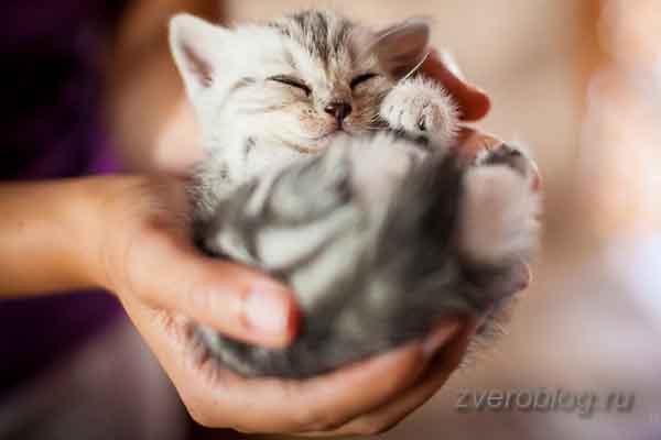 Милый серый котенок в человеческих руках