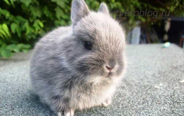 Серый декоративный кролик