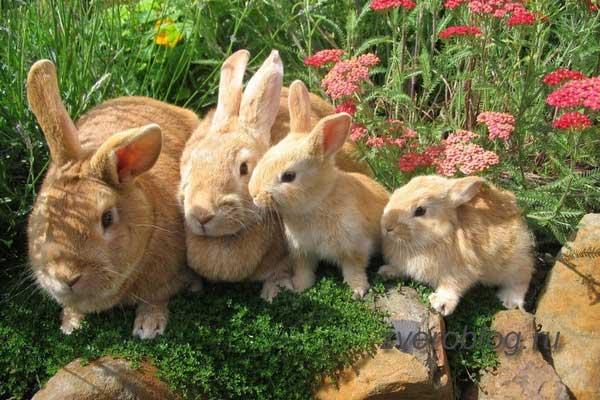 Выгул декоративный кроликов