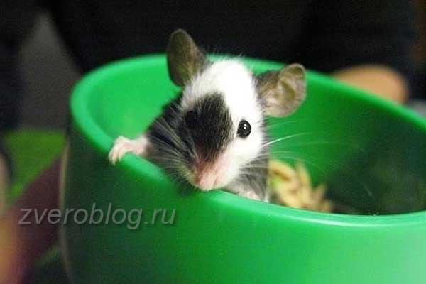 Японская карликовая мышь в чашке
