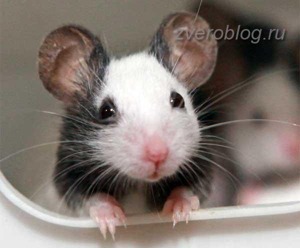 Японская карликовая или танцующая мышь