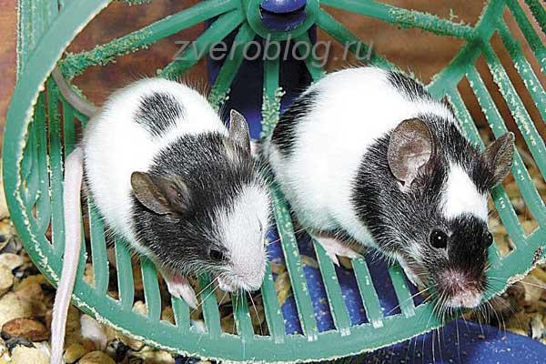 Мышки в колесе - советы по содержанию и уходу