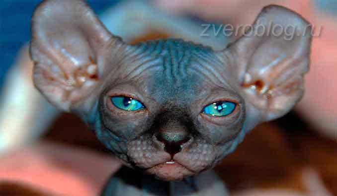 Голые кошки породы Бамбино - особенности, содержание и уход