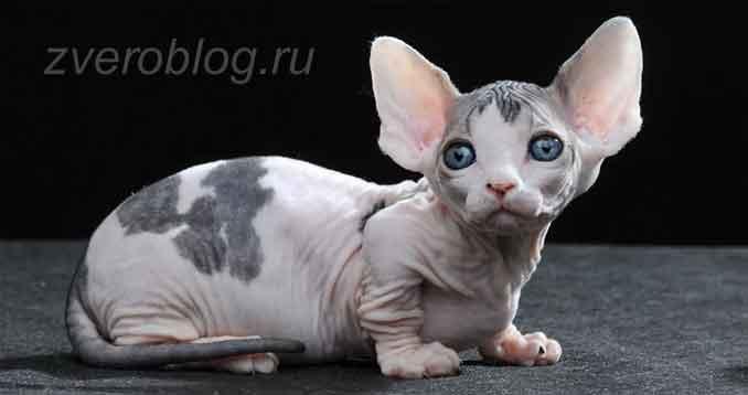 Как выбрать кошку Бамбино