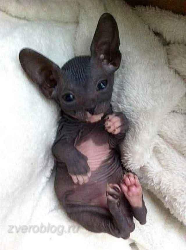 Котенок породы Бамбино - очаровательный и милый