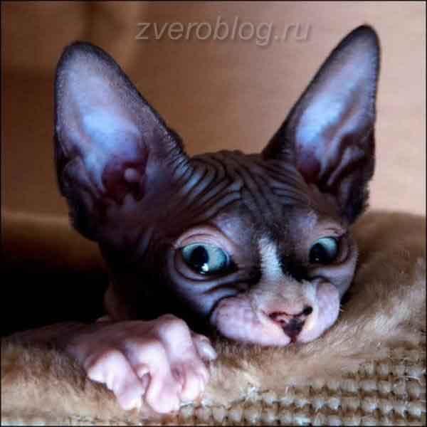 Смешная кошка Бамбино