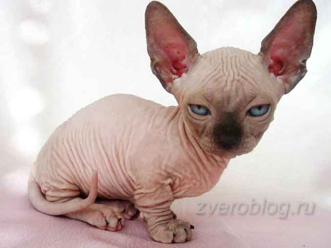 Голая bambino-cat