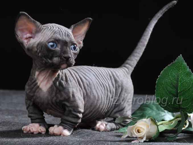 Котенок пород Бамбино