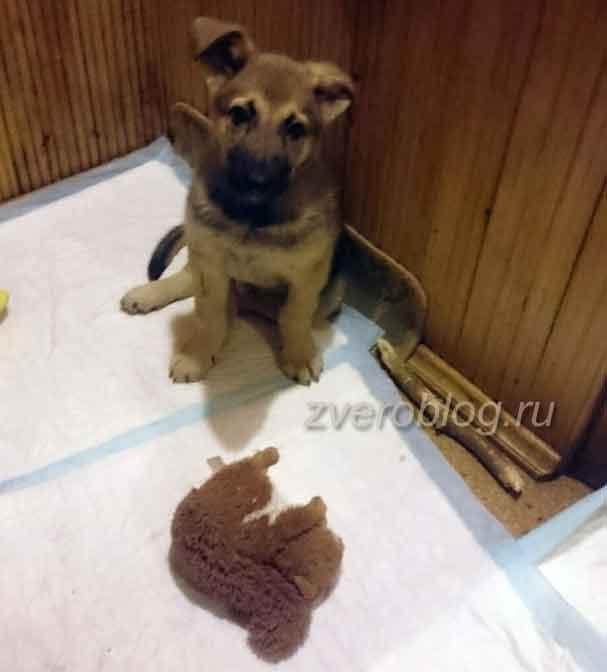 Любимая играшка щенка - белка