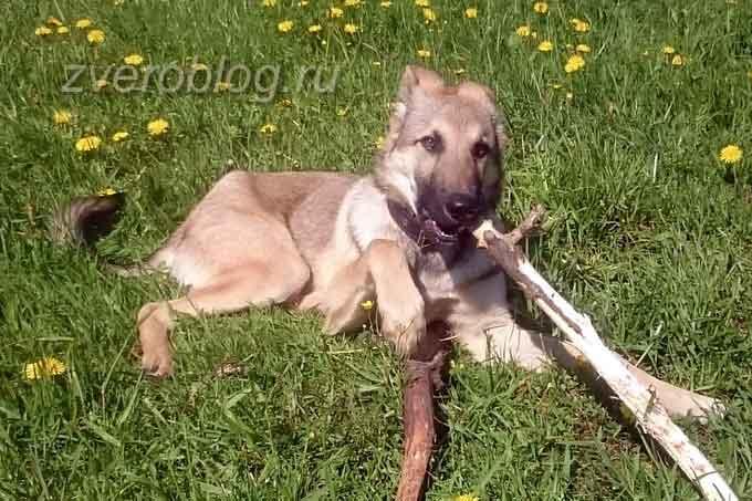 Собака на выгуле грызет палку