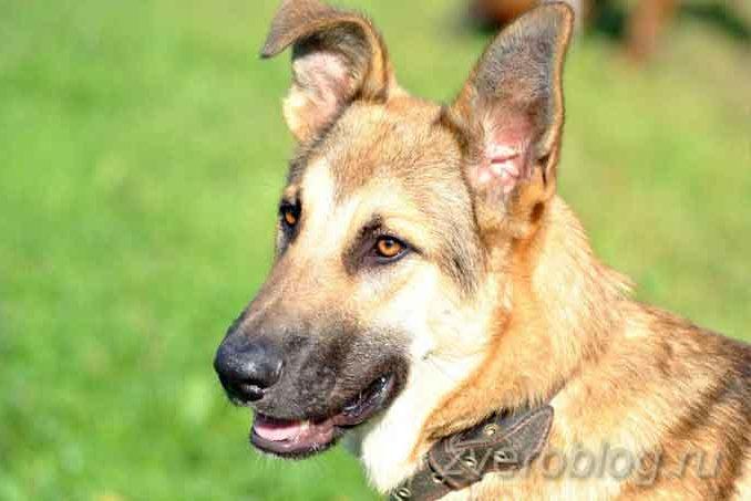 Красивая большая собака - метис овчарки