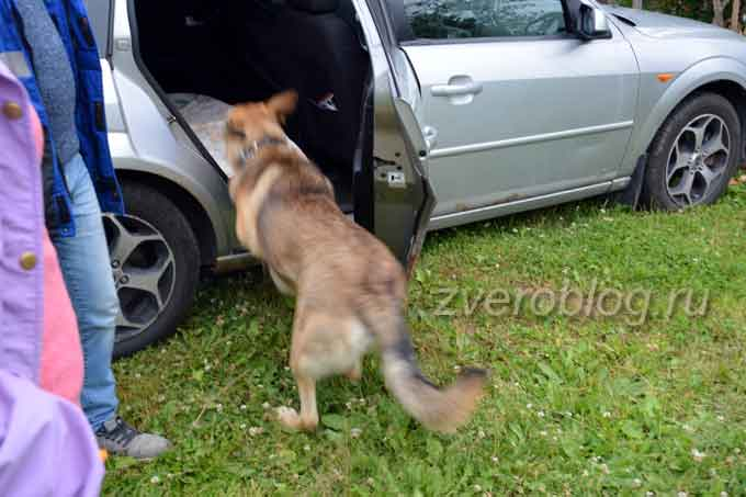 Собака залезает в машину
