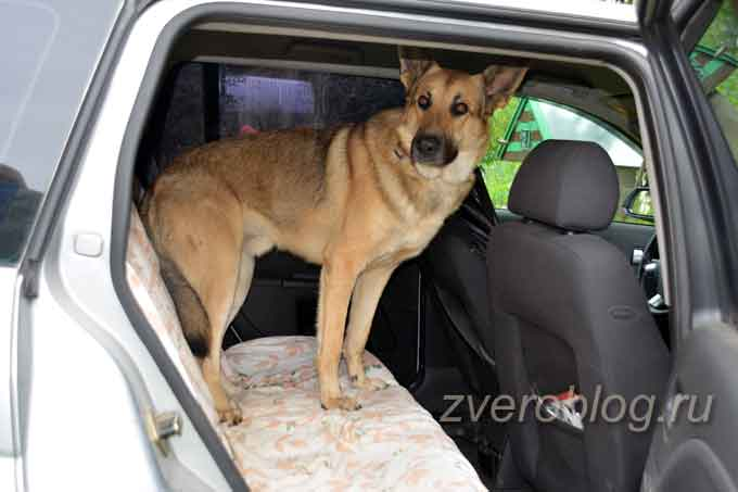 Перевозка собак в авто. как приучать собаку к машине