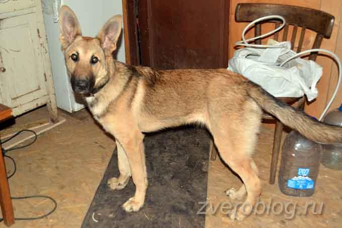 Здоровый и красивый пёс в полтора года