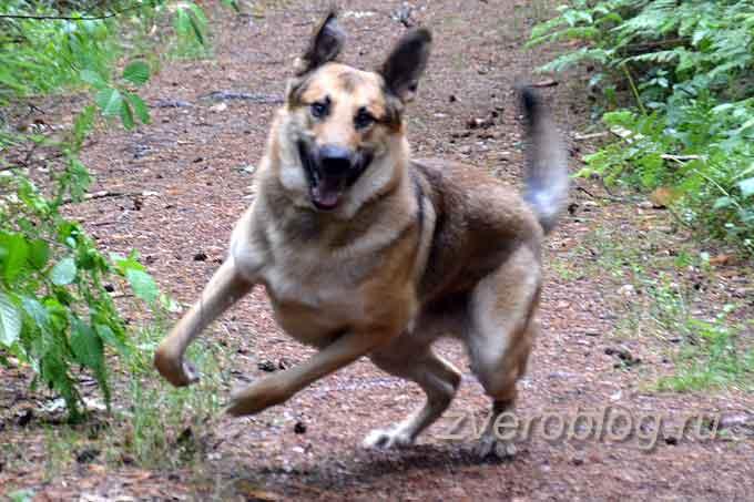 Собка несется по лесу