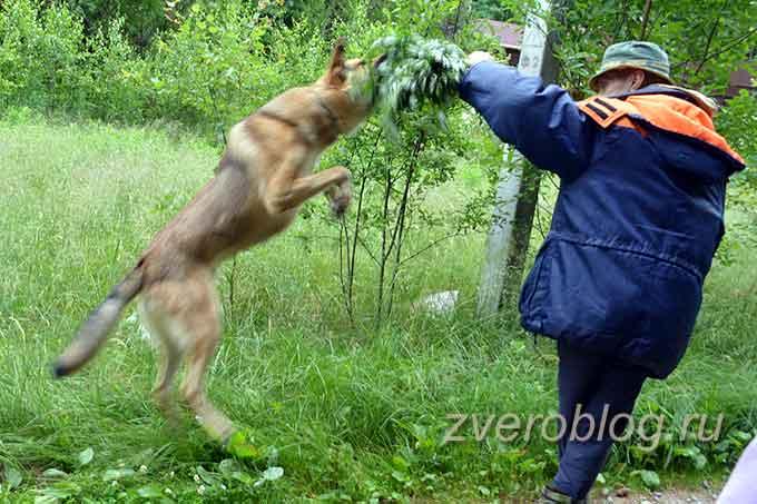 Собака прыгает на человека, защищая хозяйку
