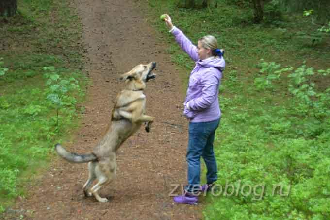 Собака прыгает за мячиком