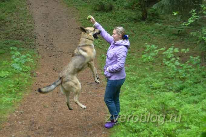 Собака играет с хозяйкой на выгуле