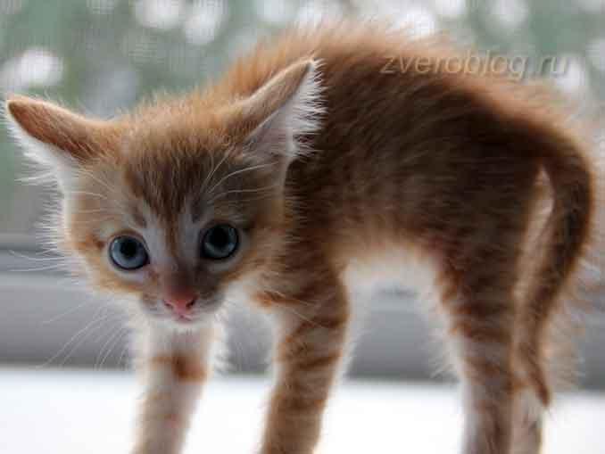 Рыжий котенок выгнулся