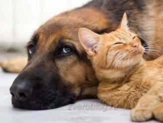 Дружба животных - овчарка и кот