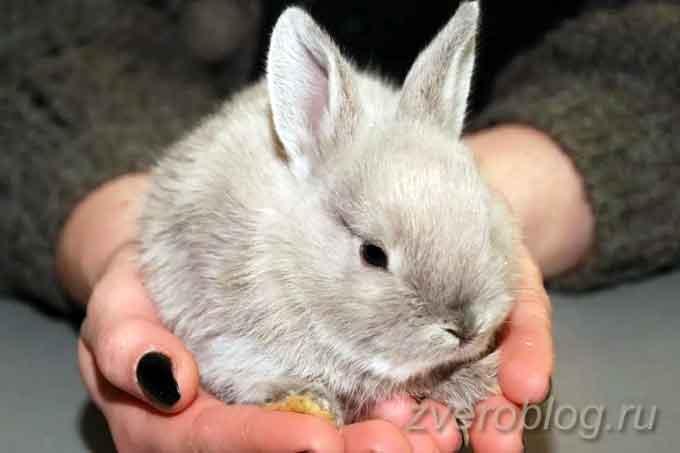 какую породу декоративнго кролика выбрать