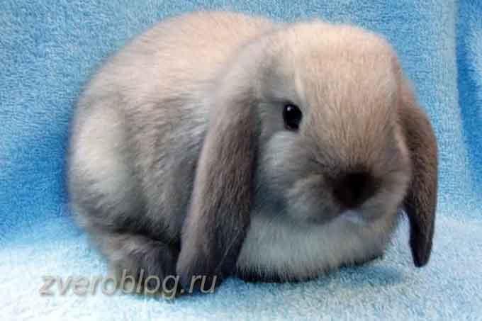 Голландский вислоухий декоративный кролик