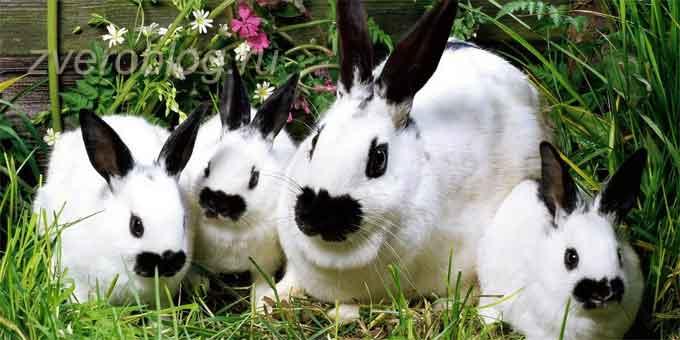 Карликовая бабочка - семья кроликов