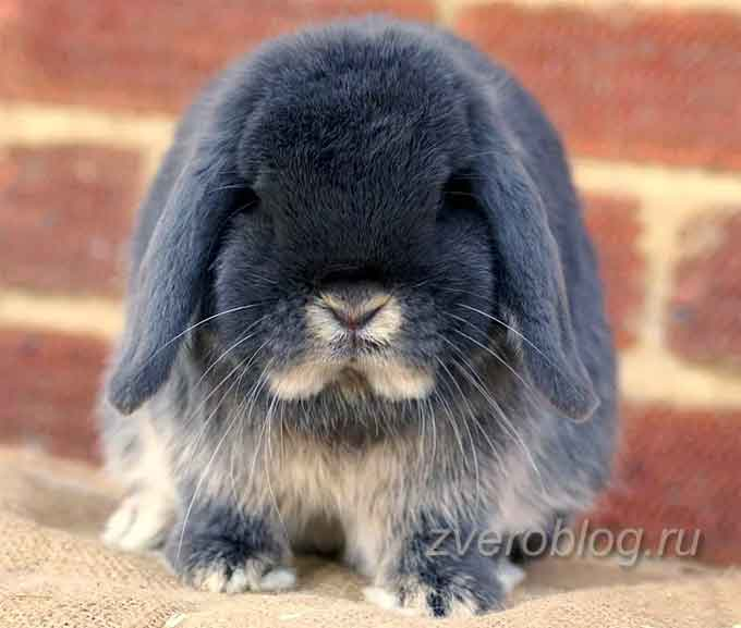 Голландский вислоухий - порода декоративных кроликов