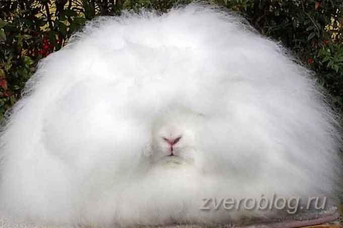 Белый декоративный кролик ангорский лев