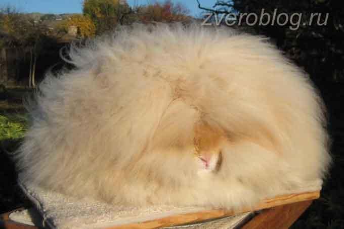 Ангорский лев - порода декоративных кррликов с очень длинной шерстью