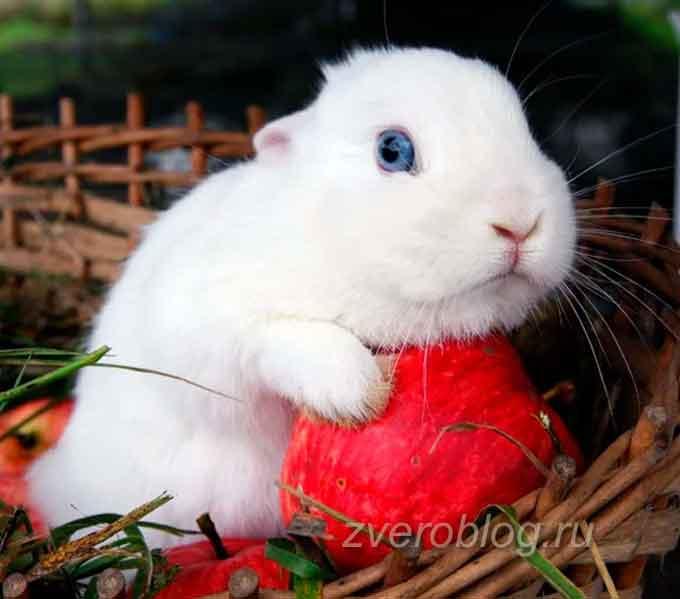 Гермелин - порода декоративных кроликов: