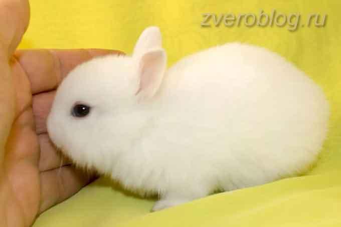 Белый маленький кролик гермелин